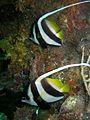 Longfin Bannerfish (5633451131).jpg
