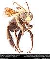 Longhorn bee, male (Apidae, Eucerini) (29326979805).jpg