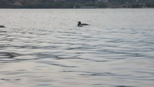 File:Loons Swimming in Wood Lake BC on a Summer Morning.webm