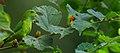 Loriculus vernalis -Ganeshgudi, Karnataka, India -male-8.jpg
