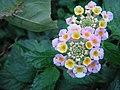 Lule me ngjyra.jpg
