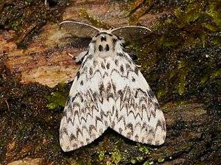 Black arches Species of moth