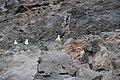 Möven in den Felsen am Hafen von Valle Gran Rey, La Gomera.jpg