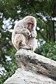 Macaca fuscata in Ueno Zoo 2019 40.jpg