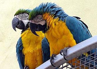 Macaw - Image: Macaw.blueyellow.arp .750pix