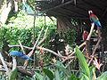 Macaws, Jurong BirdPark 4.JPG