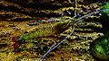 Macrobrachium rosenbergii - crevette géante d'eau douce - Aqua Porte Dorée 15.JPG
