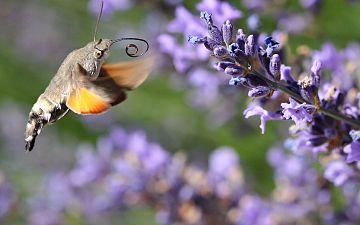 Macroglossum stellatarum in flight near lavender.jpg