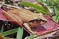 Madagascar jumping frog (Aglyptodactylus madagascariensis) Ranomafana.jpg