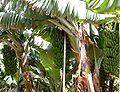 Madeira bananenplantage Madalena do Mar südküste 5-07.JPG