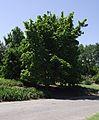 Magnolia elizabeth.jpg