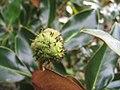 Magnolia grandiflora Little Gem 3zz.jpg