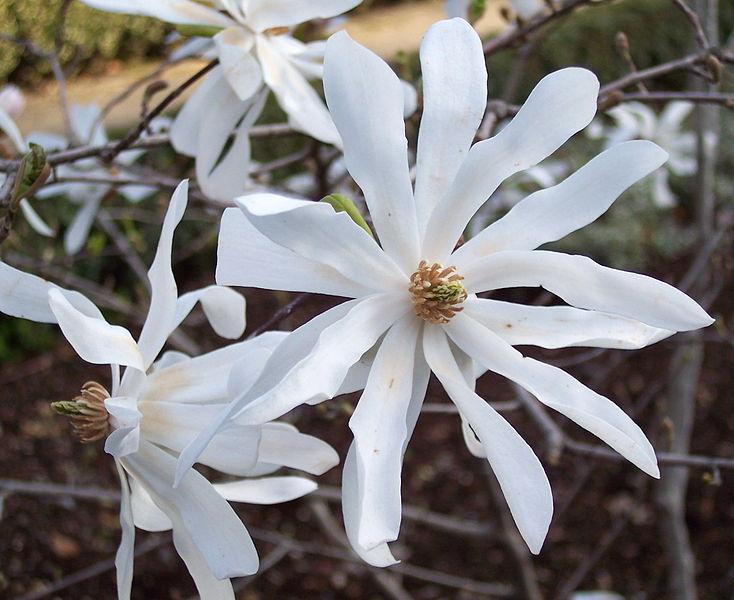 File:Magnolia stellata RJB.jpg