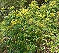 Mahonia pinnata ssp insularis 1.jpg