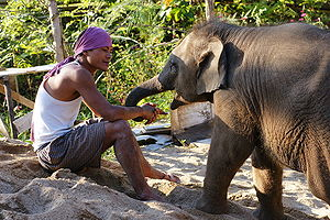 Mahout - Mahout with a young elephant at Elephant Nature Park, Thailand