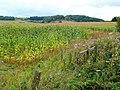 Maize crop - geograph.org.uk - 1545428.jpg