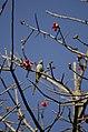 Malabar Parakeet from Anamalai Tiger Reserve JEG1635.JPG