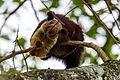 Malabar Squirrel.jpg