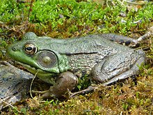 Male Green Frog - Hunterdon County, NJ.jpg
