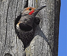 Male Red Shafted Flicker - - Colaptes cafer.jpg