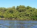 Malpighiales - Rhizophora mangle - 9.jpg