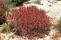 Malta - Ghajnsielem - Comino - Euphorbia melitensis 09 ies.jpg