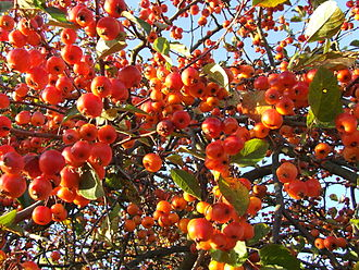 Malus - 'Evereste' fruits