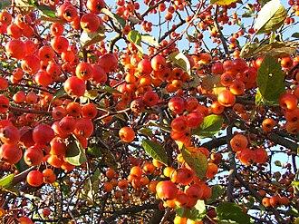 Malus 'Evereste' - Fruiting