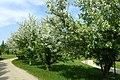 Malus floribunda kz04.jpg