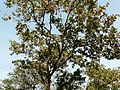 Maravakai (Tamil- மரவகை) (3206123169).jpg
