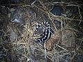 Marbled Salamander.JPG