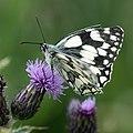 Marbled White Butterfly (Melanargia galathea).jpg