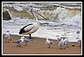 Margate Pelican Rescue-Looking for food-1 (6951237227).jpg