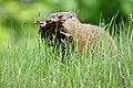 Marmota monax UL 08.jpg