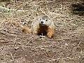 Marmotte commune - Perce 01.jpg