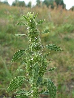 Marrubium vulgare KZ.jpg
