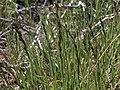 Mat muhly, Muhlenbergia richardsonis (26375516706).jpg
