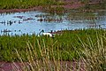 Mathoura, Murray Valley National Park, Australian White Ibis 02.jpg