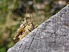 Mating Grasshoppers-2.jpg