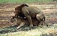 Mating lions (3259112353).jpg