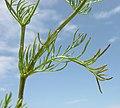 Matricaria chamomilla leaf (04).jpg