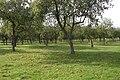 Mature apple orchard near Leddington - geograph.org.uk - 70035.jpg
