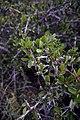 Maytenus senegalensis.jpg
