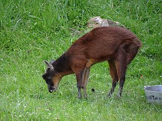 Little red brocket species of mammal