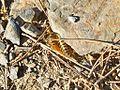 Mediterranean banded centipede (Scolopendra cingulata).jpg