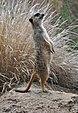 Meerkat (9635412819).jpg