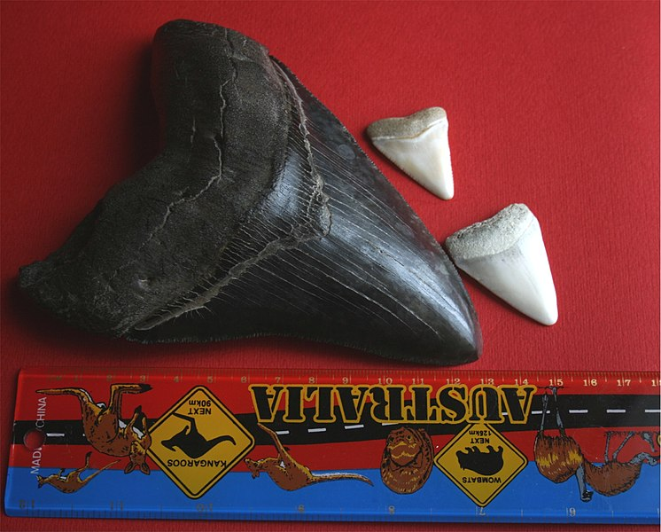 File:Megalodon tooth with great white sharks teeth.jpg