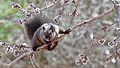 Melanistic Eastern Gray Squirrel (Sciurus carolinensis) - Guelph, Ontario 02.jpg