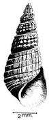 Melanoides victoriae - Photo (c)  G. Oberholzer & J. A. Van Eeden, osa oikeuksista pidätetään (CC BY)