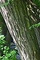 Melia azedarach in Jardin botanique de la Charme 03.jpg